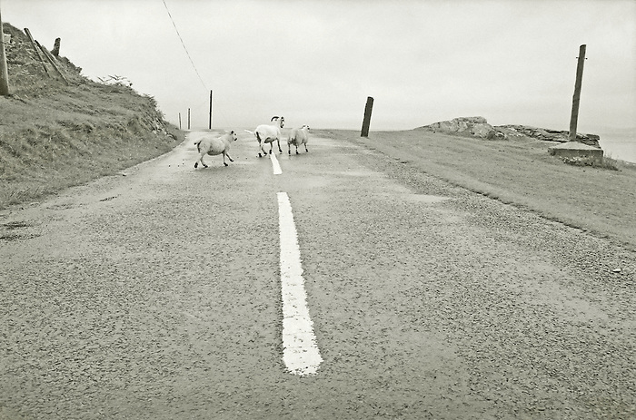 Three sheep cross a road on the Isle of Arran. Scotland 1985.