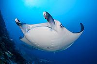reef manta ray, Manta alfredi, Gan, Maradhoo, Addu Atoll, Maldives, Laccadive Sea or Lakshadweep Sea, Indian Ocean