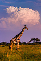 A giraffe walks along with a thunderhead cloud in background, near Lebala Camp in the Kwando Concession, Linyanti, Botswana.