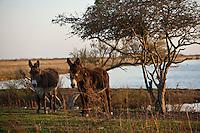 Europe/France/Poitou-Charentes/17/Charente-Maritime/Ile de Ré/Les Portes-en-Ré: Baudets du Poitou dans les marais
