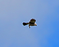 Mississippi kite adult with dragon fly