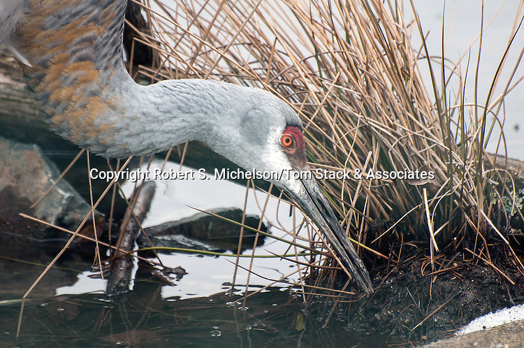 florida sandhill crane feeding in marsh, close-up