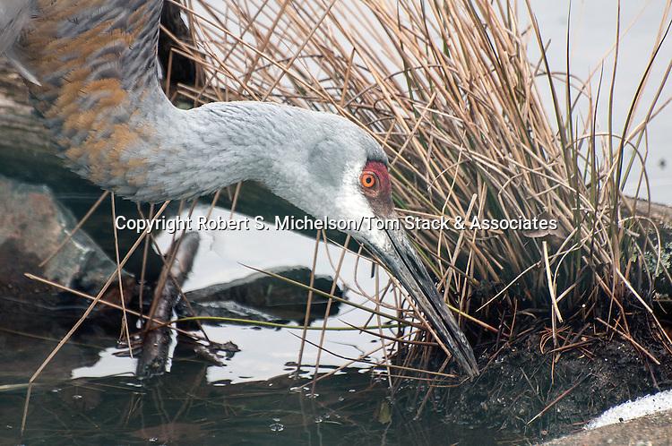 florida sandhill crane feeding in marsh, close-up