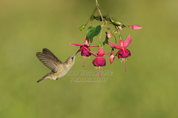 Black-chinned Hummingbird (Archilochus alexandri), adult female feeding on blooming Fuchsia, Hill Country, Texas, USA
