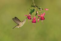 Black-chinned Hummingbird (Archilochus alexandri), adult female feeding on blooming Fuchsia, Hill Country, Texas, USA