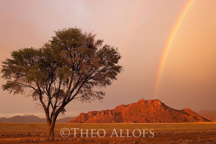 Namibia, Namib Desert, Namibrand Nature Reserve, acacia tree in rain, rainbow over mountain at sunset in background