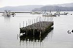 A frame holding shells for nurturing juvenile sea squirts stands in the water near Samenoura, Ishinomaki, Miyagi Prefecture, JapanPhotographer: Robert Gilhooly