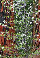 Pacific Dogwood (Cornus nuttallii) and Giant Sequoia (Sequoiadendron giganteum). Sequoia National Park, California