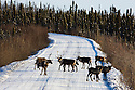 Canada,Yukon; Caribous crossing Dempster Highway during hunting season, animals belongs to the Porcupine Caribou herd, that is threatened because of opening up more oil drilling sites in ANWR/Alaska