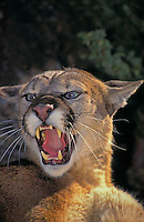 COUGAR ( Felis concolor) threat display.  Rocky Mountains.