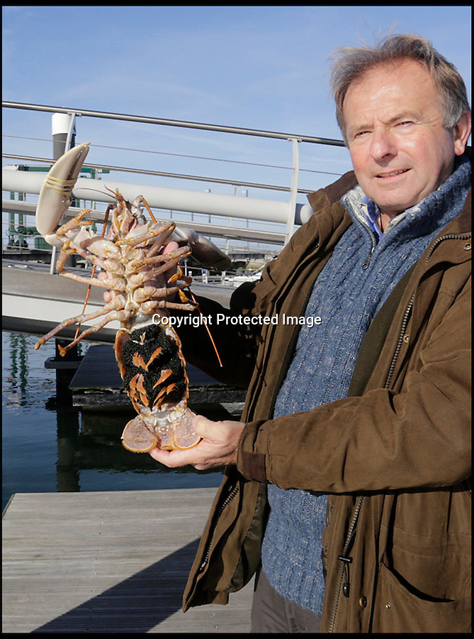 BNPS.co.uk (01202 558833)<br /> Pic: BNPS<br /> <br /> 'Prawn to be Wild'<br /> <br /> Marine Consultant and Project Coordinator Neville Copperthwaite with a female lobster full of eggs. <br /> <br /> An army of 1000 tiny lobsters has been released onto a purpose built reef built on the sea bed off Portland in Dorset.<br /> <br /> 2000 tonnes of Portland stone have been sunk on the seabed of Ringstead bay in an effort to regenerate the marine life and create a venue for divers.<br /> <br /> The tiny crustaceans were bred at the National Lobster Hatchery in Padstow before being taken to Dorset and released by a team of divers.<br /> <br /> Once the lobsters outgrow the reef they will be encouraged to live in an outer reef made from concrete stones filled with cremated remains.<br /> <br /> They will be taken out to sea and dropped into the water during a ceremony involving bereaved relatives.<br /> <br /> The underwater headstones, dubbed solace stones, will have a brass plaque on with the name of the person whose ashes are inside.<br /> <br /> The bizarre project is being aimed at families of dead fishermen, divers and other seafarers as it would give them a fitting send off.