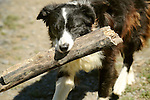 Boarder Collie retrieving log.