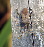 A Bug on the railing of the boardwalk in the Esopus Bend Nature Preserve, in Saugerties, NY, on Tuesday, September 5, 2017. Photo by Jim Peppler. Copyright/Jim Peppler-2017.