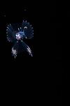 Snaketooth swallower, Kali macrodon, gargaropteron larva, bathypelagic larva, Deep sea dweller, Gulf Stream Current; Larval pelagic marine creatures; Plankton; SE Florida Atlantic Ocean off Singer Island 5 miles due south.; balck water diving; larval fish; pelagic larval marine life; plankton creatures