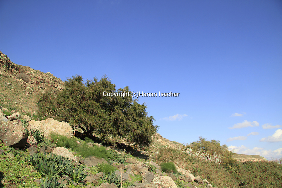 Golan Heights, Jujube tree in Ein Aya