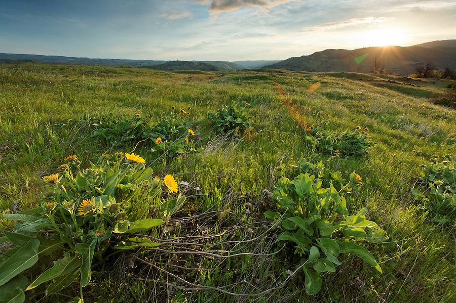 Sun rises over wildflowers on the Rowena Plateau, Tom McCall Wildflower Preserve, Rowena, Oregon, USA