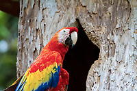 scarlet macaw, Ara macao, in front of its nest in hollow cavity in tree, Alajuela Province, Costa Rica, Central America