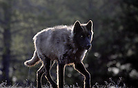A GREY WOLF WITH AN ICY STARE MAKES ITS WAY ALONG THE SLOUGH CREEK TRAIL AT YELLOWSTONE NATIONAL PARK,WYOMING