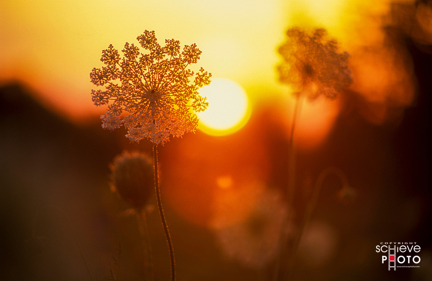 Queen Anne's Lace at sunset.