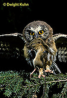 OW03-053z  Saw-whet owl - immature owl with mouse prey - Aegolius acadicus