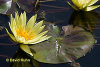 0904-0807  Yellow Hardy Water Lilies, Nymphaea spp. © David Kuhn/Dwight Kuhn Photography.