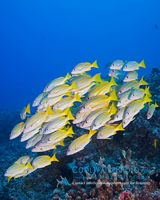 Schooling Bluestripe Snappers, Lutjanus kasmira, off Kona Coast, Big Island, Hawaii, Pacific Ocean