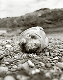 MEXICO, Baja, molting elephant seal, San Benitos Islands (B&W)