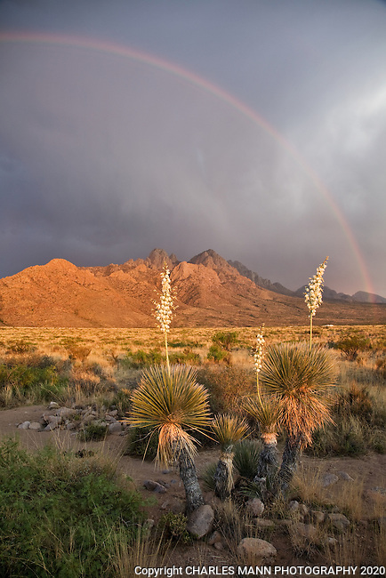 A late May sunset, a rainbow briefly frames a cluster of white flowered Yucca elata against the rugged Organ Mountains near Las Cruces, New Mexico