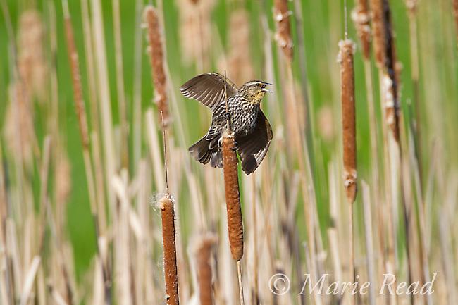 Red-winged Blackbird (Agelaius phoeniceus) female calling/wingspread in spring, New York, USA
