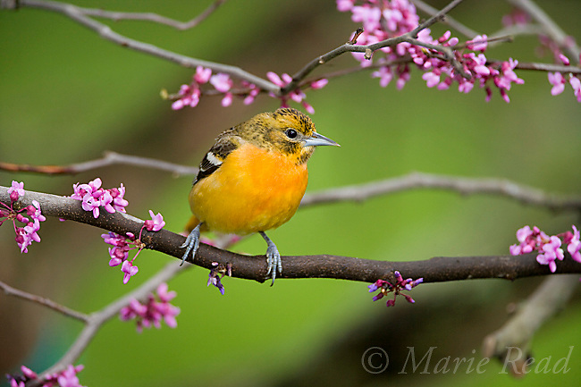 Baltimore Oriole (Icterus galbula) female perched in flowering eastern redbud, New York, USA
