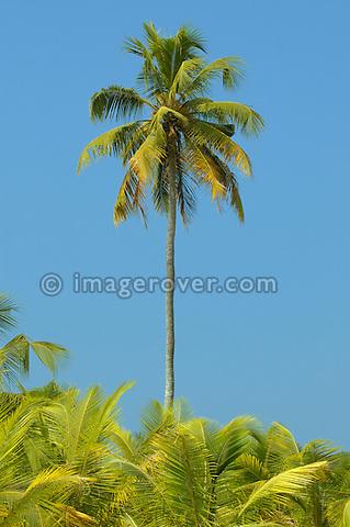 Palm trees and blue sky. Backwaters, Kerala, India.