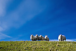 Curious sheep standing side by side on top of a dyke against a clear blue sky