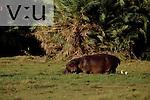 A Hippopotamus in a swamp. ,Hippopotamus amphibius, Amboseli National Park, Kenya