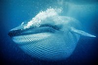 blue whale, Balaenoptera musculus, feeding on krill, endangered species, Mexico, Pacific Ocean
