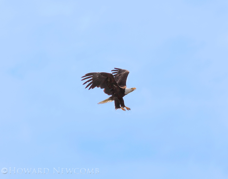 Bald eagle in flight preparing for a high perch landing.