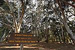 Israel, Southern Coastal Plain. The Eucalyptus trees picnic area in Nitzanim