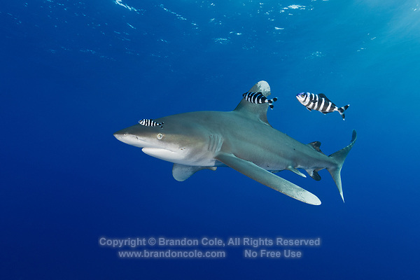 TG0845-D. Oceanic Whitetip Shark (Carcharhinus longimanus), followed by  Pilotfish (Naucrates ductor). Pilotfish are semi-obligate commensal symbionts, associated with sharks, turtles, and other pelagic animals. Found throughout the tropics, pilotfish feed on leftovers from their host meals, as well as parasites and excrement. Oceanic whitetip sharks feed on wide array of bony fishes, cephalopods, mammals, even birds. Egypt, Red Sea.<br /> Photo Copyright &copy; Brandon Cole. All rights reserved worldwide.  www.brandoncole.com