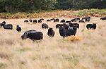 Conservation grazing by Hebridean sheep on Suffolk Wildlife trust managed land, Sutton, Suffolk, England