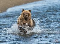 Brown Bear (Ursus arctos) on the move after Salmon, Lake Clark National Park, Alaska