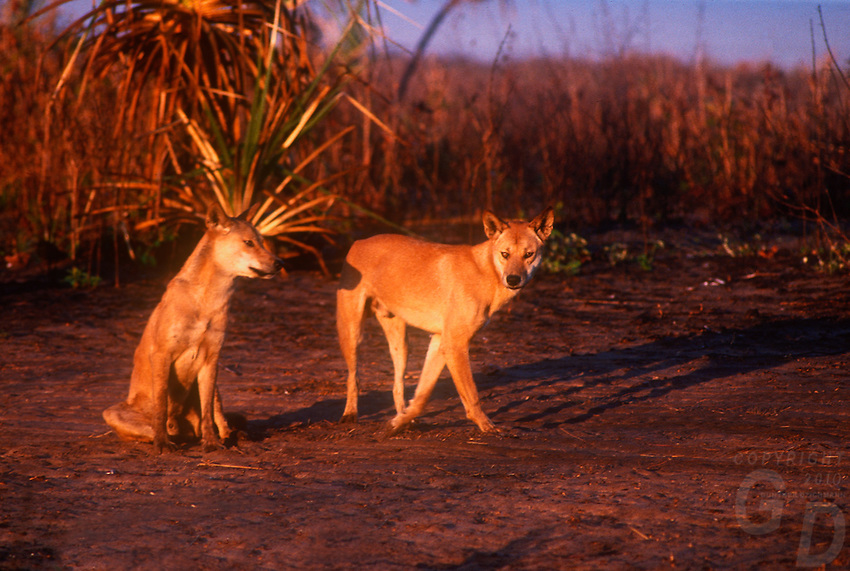 At sunset Wild Dingos, the endemic Australian wild Dog.