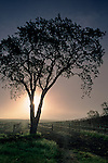 Tree at sunrise next to vineyard along Union Road, Paso Robles San Luis Obispo County, California