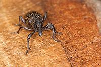 Lärchen-Scheckenrüssler, Lärchenscheckenrüssler, Lärchen-Scheckenrüßler, Lärchenscheckenrüßler, Hylobius excavatus, Hylobius piceus, weevil, weevils