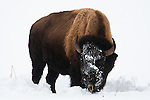 An American Bison bull eats dry grass from under the snow cover in Yellowstone National Park Wyoming USA, January 7th 2009.  The bison uses his large head and strong neck and back muscles to move the snow and gain access to the sparse winter food.  Photo by Gus Curtis
