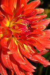 Orange Dahlia, Swan Island Dahlias, Oregon