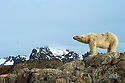 Polar bear stands on the shore of a bird island in Smeerenburgfjorden, Spitsbergen, Svalbard.