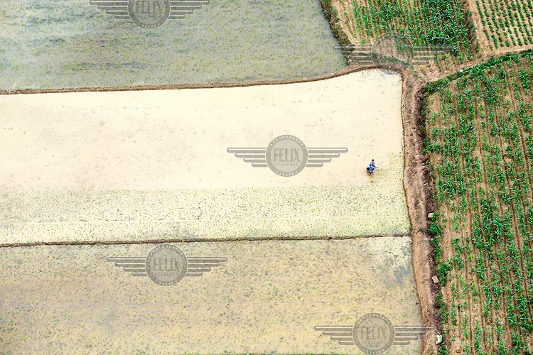 A woman plants rice seedlings in a paddy field. /Felix Features