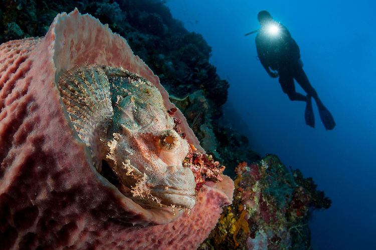 A diver looks on at a tassled scorpionfish: Scorpaenopis oxycephala,, lying in a barrel sponge. diver has torch, Komodo National Park