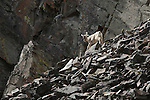 Bighhorn Sheep lamb running on a rock slide in Rock Creek drainage in western Montana