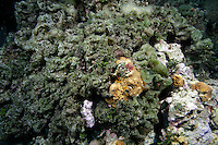 Algae overgrowing coral, Exumas, Bahama Islands