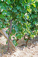 Closeup of vine with leaf leaves and grape bunches. Tempranillo grape variety. Kantina Miqesia or Medaur winery, Koplik. Albania, Balkan, Europe.